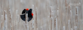 Red-winged Blackbird 3