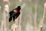 Red-winged Blackbird 5