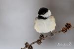 Chickadee - Black-capped Chickadee 05