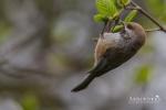 Chickadee - Boreal Chickadee 01