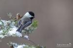 Chickadee - Black-capped Chickadee 06