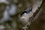 Nuthatches - White-breasted Nuthatch 06