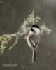 Chickadee - Black-capped Chickadee 13