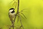 Chickadee - Carolina Chickadee 01