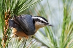 Nuthatches - Red-Breasted Nuthatch 05