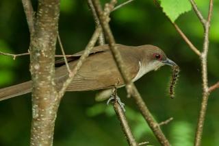 black-billed-cuckoo