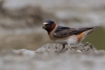 cave-swallow1