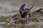 cave-swallow2