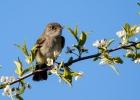 least-flycatcher-apple-blossums