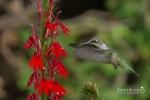 Ruby-throated Hummingbird 4a