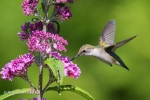 Ruby-throated Hummingbird 13