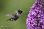 Ruby-throated Hummingbird 11