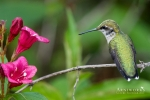 Ruby-throated Hummingbird 8