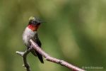 Ruby-throated Hummingbird 16