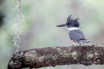 Belted Kingfisher 4