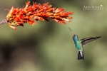 Broad-billed Hummingbird 4