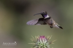 Black-chinned Hummingbird 1