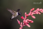 Black-chinned Hummingbird 3