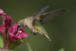 Ruby-throated Hummingbird 18