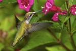 Ruby-throated Hummingbird 20