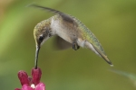 Ruby-throated Hummingbird 21