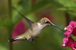 Ruby-throated Hummingbird 19