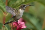 Ruby-throated Hummingbird 17