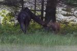 moose-and-calf1-1-of-1