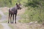 moose-maine