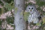 barred owl sundial