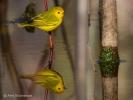 Yellow-Warbler-ReflectionAKS