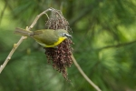 yellow-breated-chat2