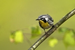 yellow-throated-warb
