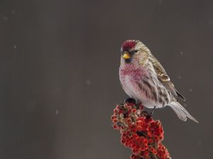 Red Poll and Sumac
