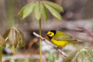 Hooded Warbler and May Apple