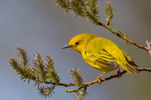 Yellow Warbler and flushing willow