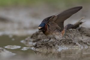 Cliff Swallow