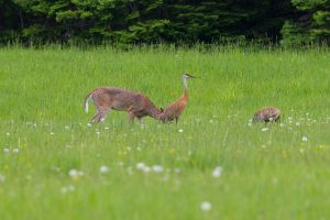 Deer amongst Sandhill Cranes