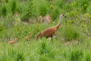 Sandhill Crane adult and colts