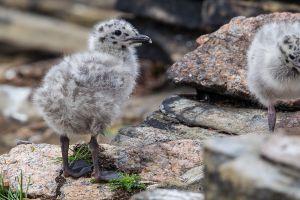Herring Gull chick