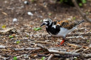 Ruddy Turnstone - female