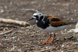 Ruddy Turnstone - male