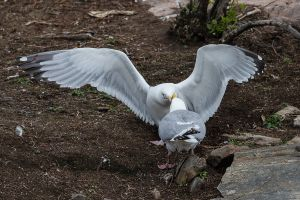 Herring Gull disagreement