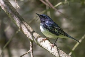 Black-throated Blue Warbler 1