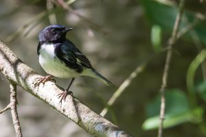 Black-throated Blue Warbler 2