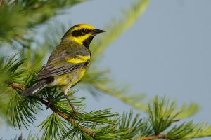Lawrence's Warbler 1