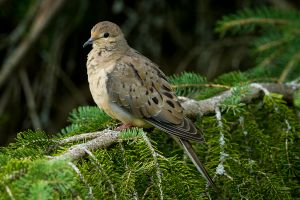 Mourning Dove - juvenile