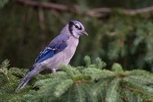 Blue Jay - juvenile