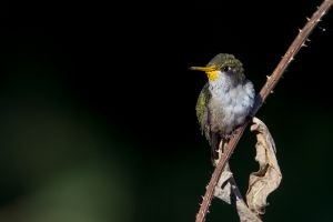 male Ruby-throated Hummingbird - juvenile