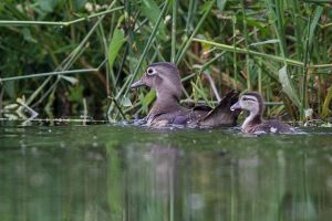 Wood Duck female and duckling